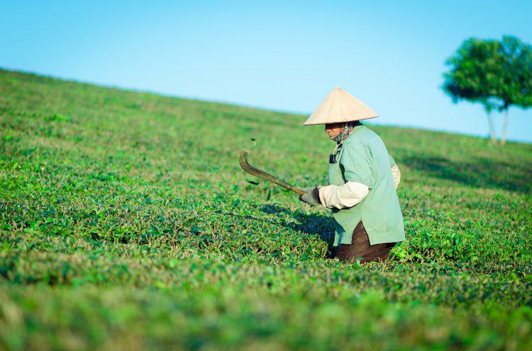 nadelen groene thee
